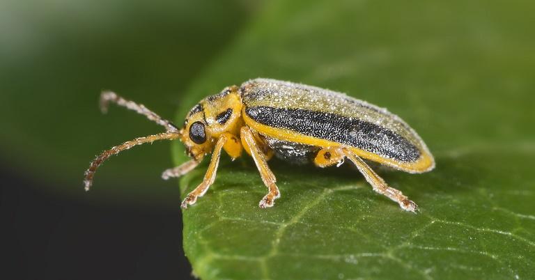 elm-tree-beetle-treatment.jpg